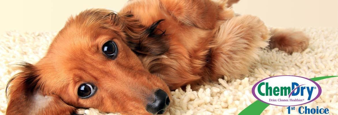 pet_odour_removal_eastern_suburbs Pet Urine & Odour Removal from carpet - Sydney